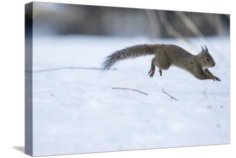 Japanese Squirrel (Sciurus Lis) Running After An Female In Oestrus In The Snow-Yukihiro Fukuda-Stretched Canvas Print
