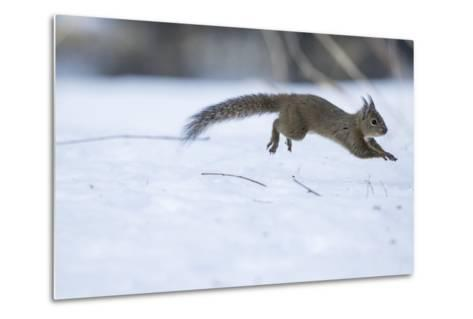 Japanese Squirrel (Sciurus Lis) Running After An Female In Oestrus In The Snow-Yukihiro Fukuda-Metal Print