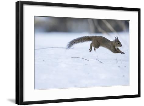 Japanese Squirrel (Sciurus Lis) Running After An Female In Oestrus In The Snow-Yukihiro Fukuda-Framed Art Print