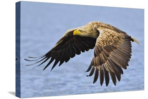 White-Tailed Sea Eagle (Haliaeetus Albicilla) In Flight. Flatanger, Norway, May-Andy Trowbridge-Stretched Canvas Print