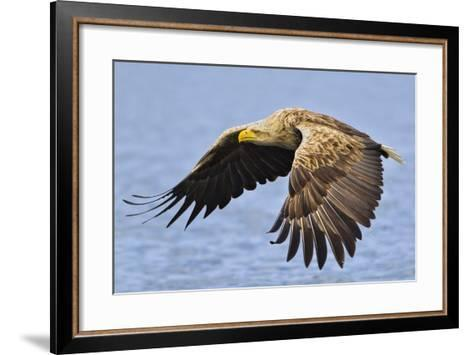 White-Tailed Sea Eagle (Haliaeetus Albicilla) In Flight. Flatanger, Norway, May-Andy Trowbridge-Framed Art Print