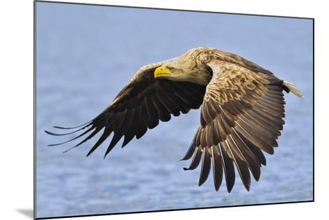 White-Tailed Sea Eagle (Haliaeetus Albicilla) In Flight. Flatanger, Norway, May-Andy Trowbridge-Mounted Photographic Print
