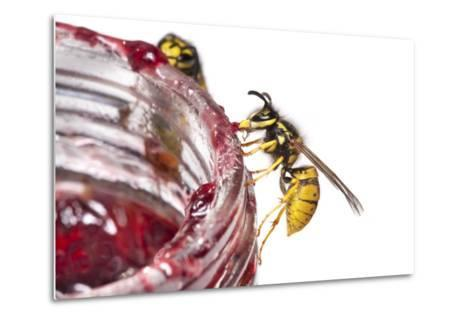 Common Wasps (Vespula Vulgaris) Feeding On A Pot Of Jam, Photographed Against A White Background-Alex Hyde-Metal Print
