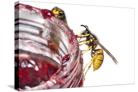 Common Wasps (Vespula Vulgaris) Feeding On A Pot Of Jam, Photographed Against A White Background-Alex Hyde-Stretched Canvas Print