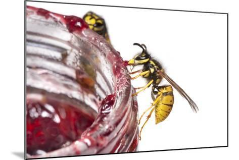 Common Wasps (Vespula Vulgaris) Feeding On A Pot Of Jam, Photographed Against A White Background-Alex Hyde-Mounted Photographic Print
