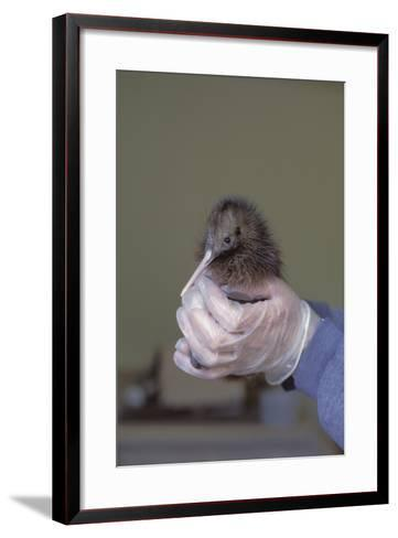 North Island Brown Kiwi Chick (Apteryx Mantelli) Breeding Centre Nz-Christophe Courteau-Framed Art Print