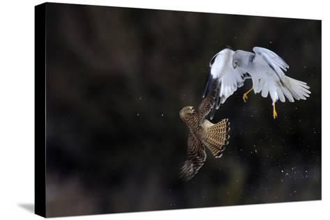 Northern - Hen Harrier (Circus Cyaneus) And Kestrel (Falco Tinnunculus) Below, Fighting In Flight-Fabrice Cahez-Stretched Canvas Print