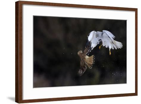Northern - Hen Harrier (Circus Cyaneus) And Kestrel (Falco Tinnunculus) Below, Fighting In Flight-Fabrice Cahez-Framed Art Print