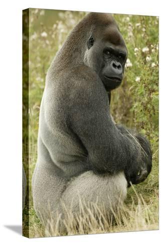 Male Silverback Western Lowland Gorilla Sitting Portrait (Gorilla Gorilla Gorilla) Uk-T^j^ Rich-Stretched Canvas Print