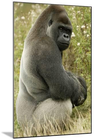 Male Silverback Western Lowland Gorilla Sitting Portrait (Gorilla Gorilla Gorilla) Uk-T^j^ Rich-Mounted Photographic Print