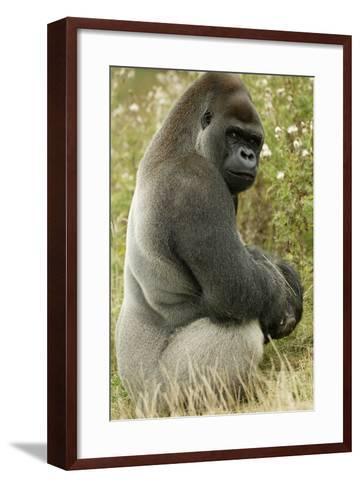 Male Silverback Western Lowland Gorilla Sitting Portrait (Gorilla Gorilla Gorilla) Uk-T^j^ Rich-Framed Art Print