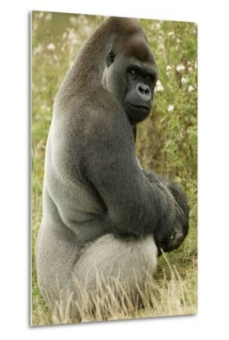 Male Silverback Western Lowland Gorilla Sitting Portrait (Gorilla Gorilla Gorilla) Uk-T^j^ Rich-Metal Print