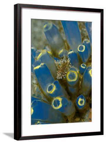 Indonesia, Alor Island. Close-Up of Lionfish and Tunicate-Jaynes Gallery-Framed Art Print