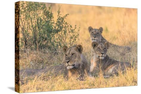 Botswana. Chobe National Park. Savuti. Pride of Lions Resting in the Shade-Inger Hogstrom-Stretched Canvas Print
