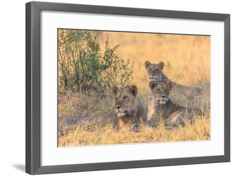 Botswana. Chobe National Park. Savuti. Pride of Lions Resting in the Shade-Inger Hogstrom-Framed Art Print