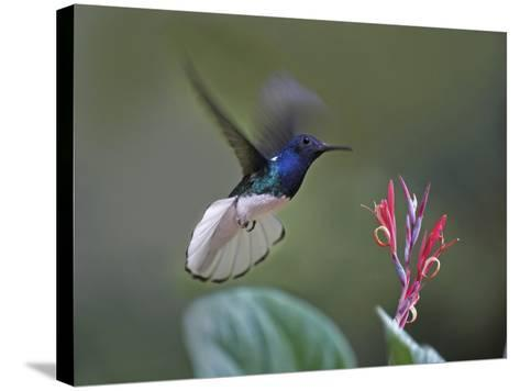 Male White-Necked Jacobin Hummingbird Flying to a Flower, Costa Rica-Tim Fitzharris-Stretched Canvas Print