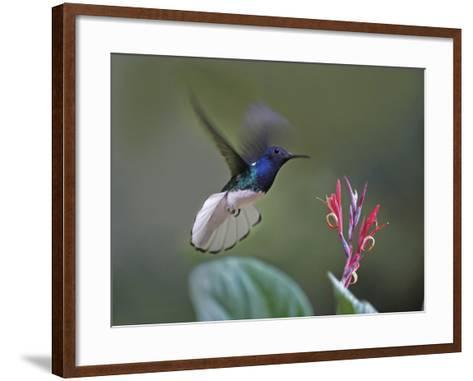 Male White-Necked Jacobin Hummingbird Flying to a Flower, Costa Rica-Tim Fitzharris-Framed Art Print