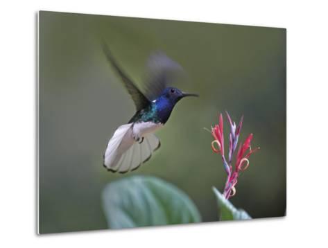 Male White-Necked Jacobin Hummingbird Flying to a Flower, Costa Rica-Tim Fitzharris-Metal Print