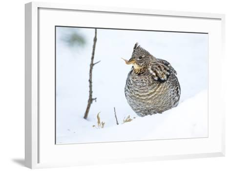 Wyoming, Sublette County, a Ruffed Grouse Eats a Dried Aspen Leaf in the Wintertime-Elizabeth Boehm-Framed Art Print