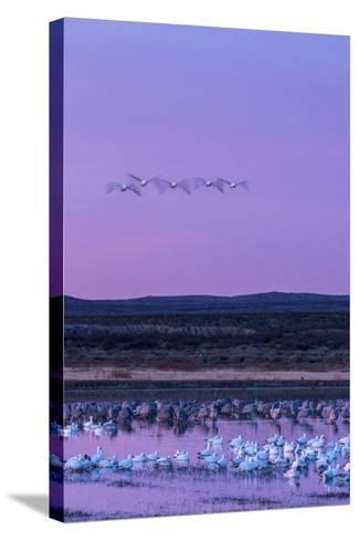 New Mexico, Bosque Del Apache National Wildlife Refuge. Snow Geese and Sandhill Cranes at Sunrise-Jaynes Gallery-Stretched Canvas Print