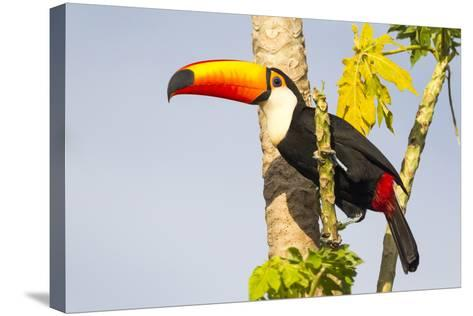 Brazil, Mato Grosso, the Pantanal. a Toco Toucan in a Papaya Tree-Ellen Goff-Stretched Canvas Print