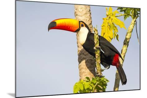 Brazil, Mato Grosso, the Pantanal. a Toco Toucan in a Papaya Tree-Ellen Goff-Mounted Photographic Print