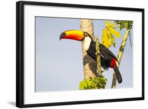 Brazil, Mato Grosso, the Pantanal. a Toco Toucan in a Papaya Tree-Ellen Goff-Framed Art Print