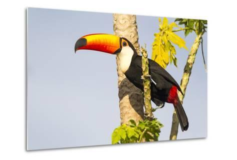 Brazil, Mato Grosso, the Pantanal. a Toco Toucan in a Papaya Tree-Ellen Goff-Metal Print