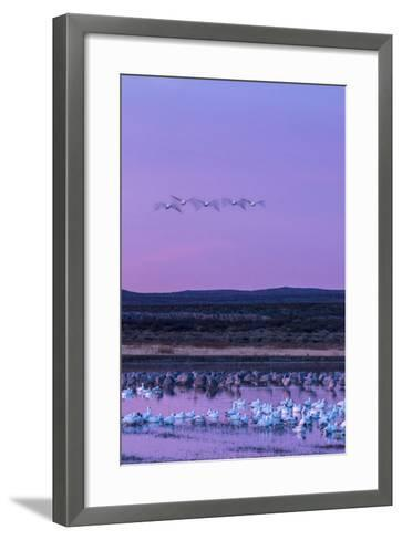 New Mexico, Bosque Del Apache National Wildlife Refuge. Snow Geese and Sandhill Cranes at Sunrise-Jaynes Gallery-Framed Art Print