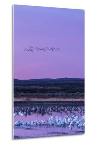 New Mexico, Bosque Del Apache National Wildlife Refuge. Snow Geese and Sandhill Cranes at Sunrise-Jaynes Gallery-Metal Print