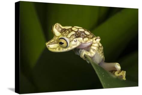 Imbabura Tree Frog, Choco Region, Ecuador-Pete Oxford-Stretched Canvas Print
