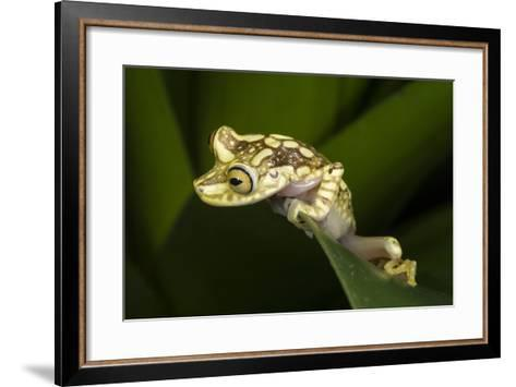 Imbabura Tree Frog, Choco Region, Ecuador-Pete Oxford-Framed Art Print