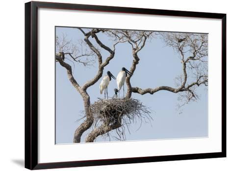 Brazil, Mato Grosso, the Pantanal, Jabiru Mates at the Nest in a Large Tree-Ellen Goff-Framed Art Print