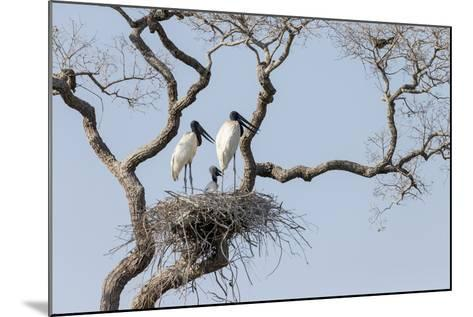Brazil, Mato Grosso, the Pantanal, Jabiru Mates at the Nest in a Large Tree-Ellen Goff-Mounted Photographic Print