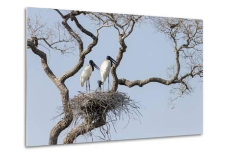 Brazil, Mato Grosso, the Pantanal, Jabiru Mates at the Nest in a Large Tree-Ellen Goff-Metal Print