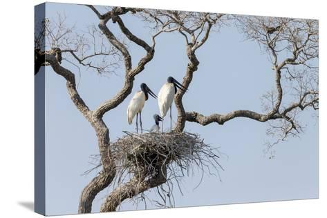 Brazil, Mato Grosso, the Pantanal, Jabiru Mates at the Nest in a Large Tree-Ellen Goff-Stretched Canvas Print
