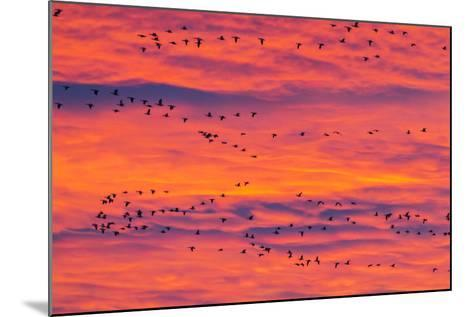 New Mexico, Bosque Del Apache National Wildlife Refuge. Snow Geese Flying at Sunrise-Jaynes Gallery-Mounted Photographic Print