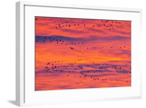 New Mexico, Bosque Del Apache National Wildlife Refuge. Snow Geese Flying at Sunrise-Jaynes Gallery-Framed Art Print