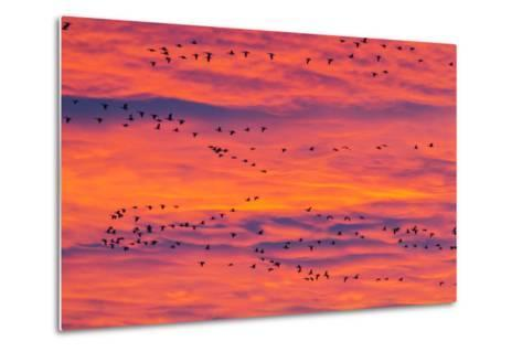 New Mexico, Bosque Del Apache National Wildlife Refuge. Snow Geese Flying at Sunrise-Jaynes Gallery-Metal Print