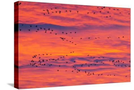 New Mexico, Bosque Del Apache National Wildlife Refuge. Snow Geese Flying at Sunrise-Jaynes Gallery-Stretched Canvas Print