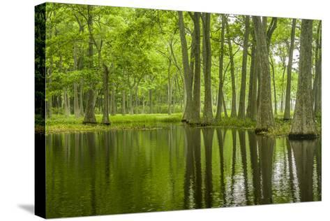 Louisiana, Miller's Lake. Tupelo Trees in Swamp-Jaynes Gallery-Stretched Canvas Print