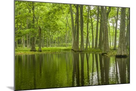 Louisiana, Miller's Lake. Tupelo Trees in Swamp-Jaynes Gallery-Mounted Photographic Print