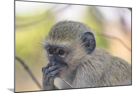Botswana. Chobe National Park. Vervet Monkey Looking Pensive-Inger Hogstrom-Mounted Photographic Print
