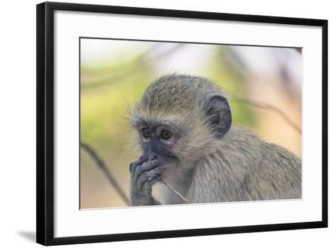 Botswana. Chobe National Park. Vervet Monkey Looking Pensive-Inger Hogstrom-Framed Art Print