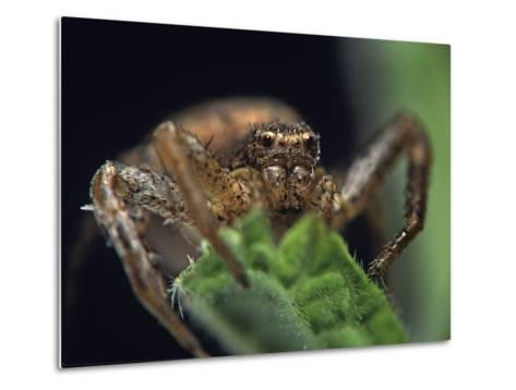 Jumping Spider, New Mexico-Tim Fitzharris-Metal Print