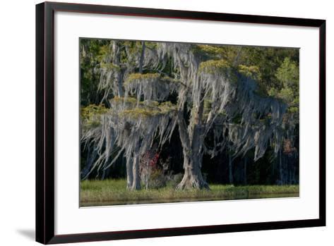 Florida, Pond Cyprus and Spanish Moss in Swamp-Judith Zimmerman-Framed Art Print