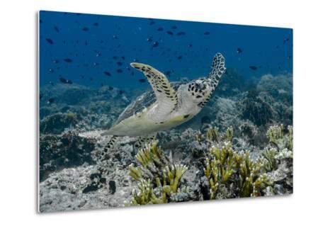 Indonesia, Komodo National Park, Tatawa Besar. Close-Up of Hawksbill Sea Turtle-Jaynes Gallery-Metal Print
