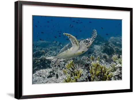 Indonesia, Komodo National Park, Tatawa Besar. Close-Up of Hawksbill Sea Turtle-Jaynes Gallery-Framed Art Print