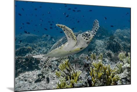Indonesia, Komodo National Park, Tatawa Besar. Close-Up of Hawksbill Sea Turtle-Jaynes Gallery-Mounted Photographic Print