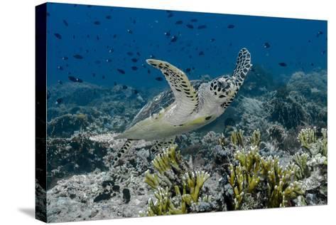 Indonesia, Komodo National Park, Tatawa Besar. Close-Up of Hawksbill Sea Turtle-Jaynes Gallery-Stretched Canvas Print